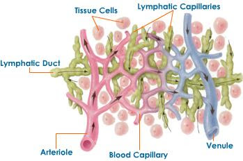 lymphatic-capillaries.jpeg
